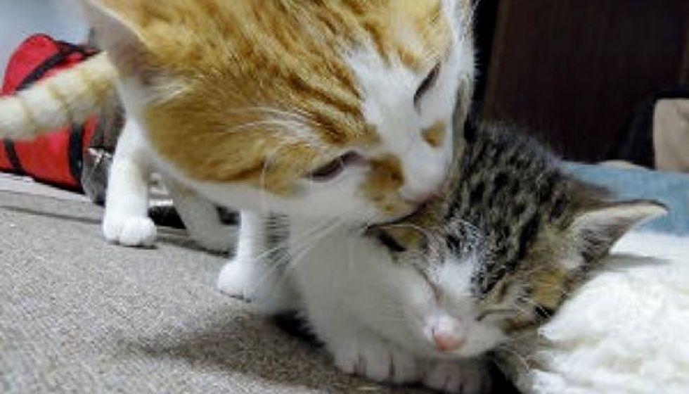 Big Kitty Adopts Small Kitty and Raises Him Like Family