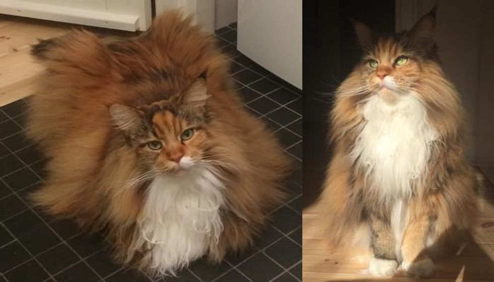 Fluffy Maine Coon Cat Can't Contain Her Magnificent Floof (9 Photos)