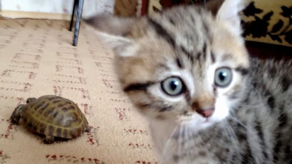 Poofed Up Kitten Walks on Two Paws to Get Turtle's Attention