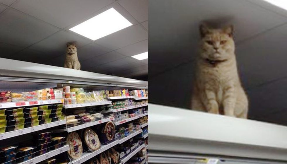 Cat Refuses to Leave His Supermarket Shelf Perch No Matter How Many Times Staff Tries