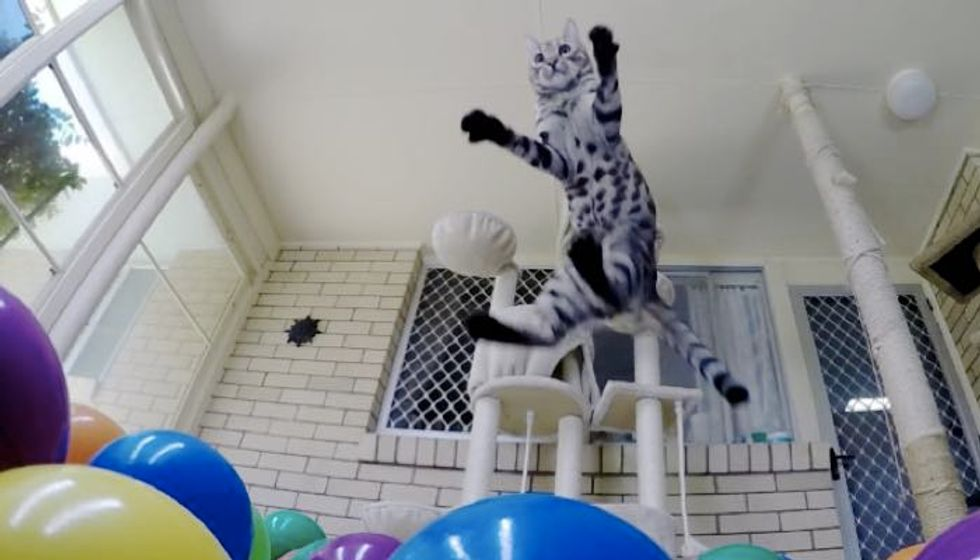 Cat Discovers His Own Ball Pit! He Just Keeps Jumpin'