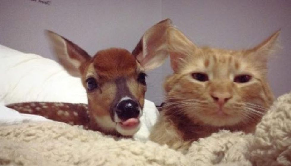 Orphaned Fawn Lost His Mom But Found a New Friend