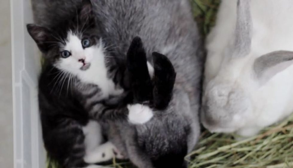 Rescue Kitty Raised by Rabbits Now Thinks She's Part Bunny!