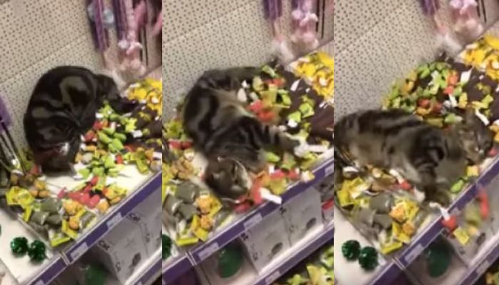 Lost Tabby Found Swimming in Piles of Catnip Toys at Store