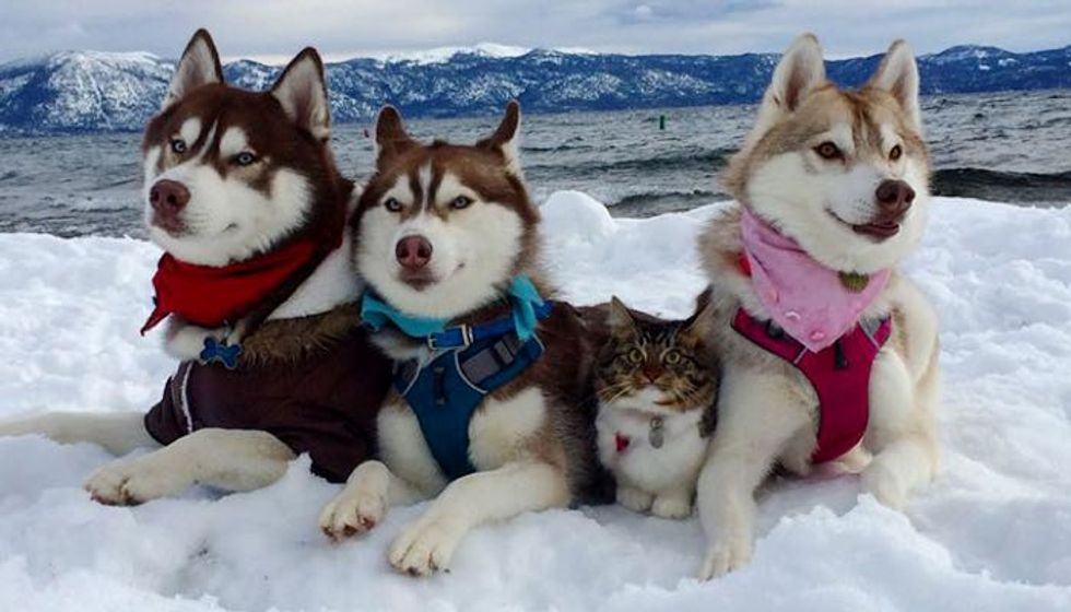 Kitten Saved by Loving Dog Now is Part of Husky Pack...