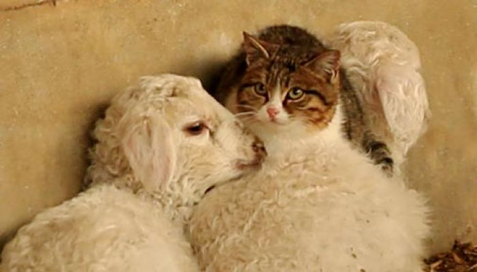 Farmers Surprised to See Cat Show Up and Snuggle with Lambs