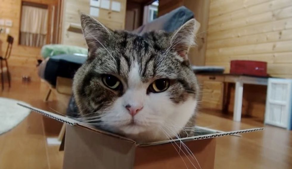 Maru Tries to Fit in a Box Half His Size