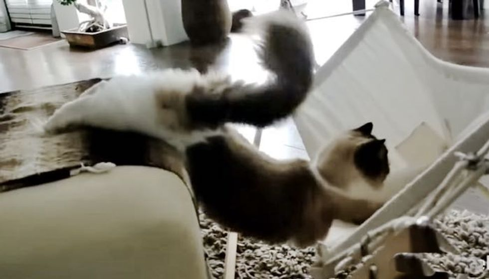 Fluffy Kitty Determined to Figure Out His Hammock!