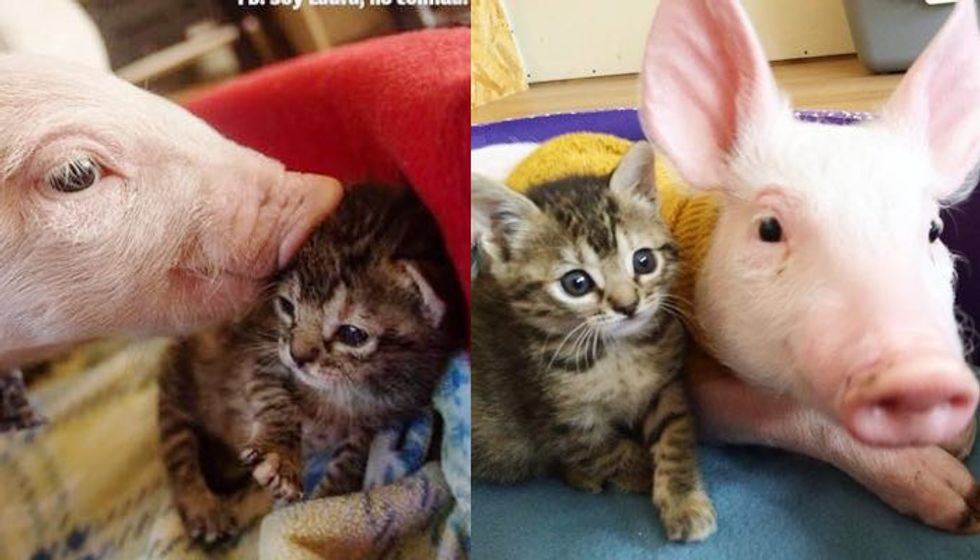 Orphaned Tabby Kitten and Rescue Pig Growing Up Together!