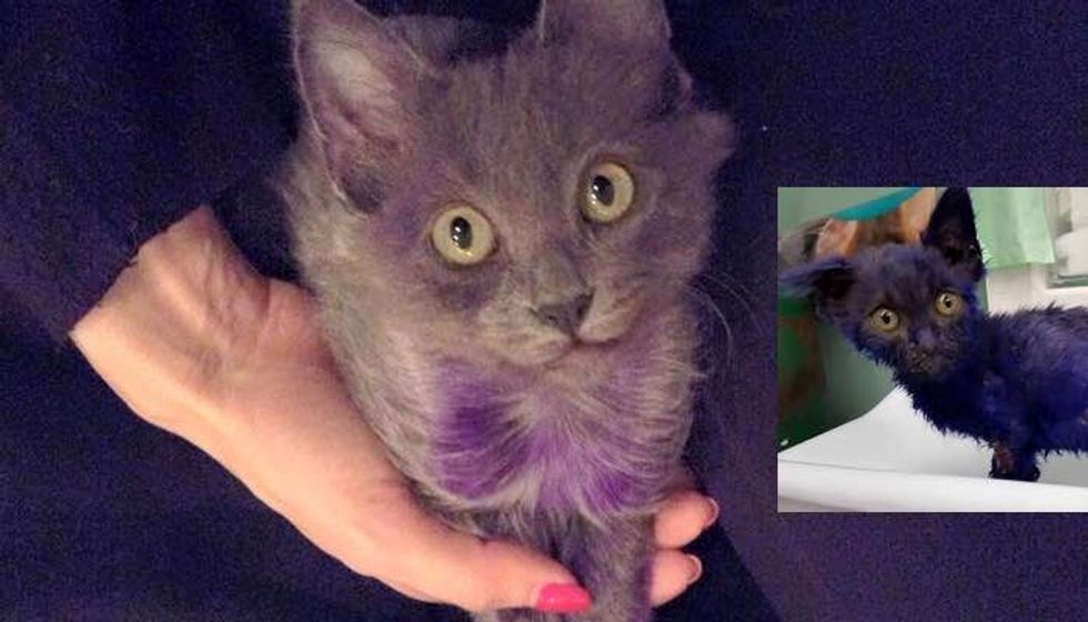 Purple Kitten is Getting Back to His Glorious Grey Coat