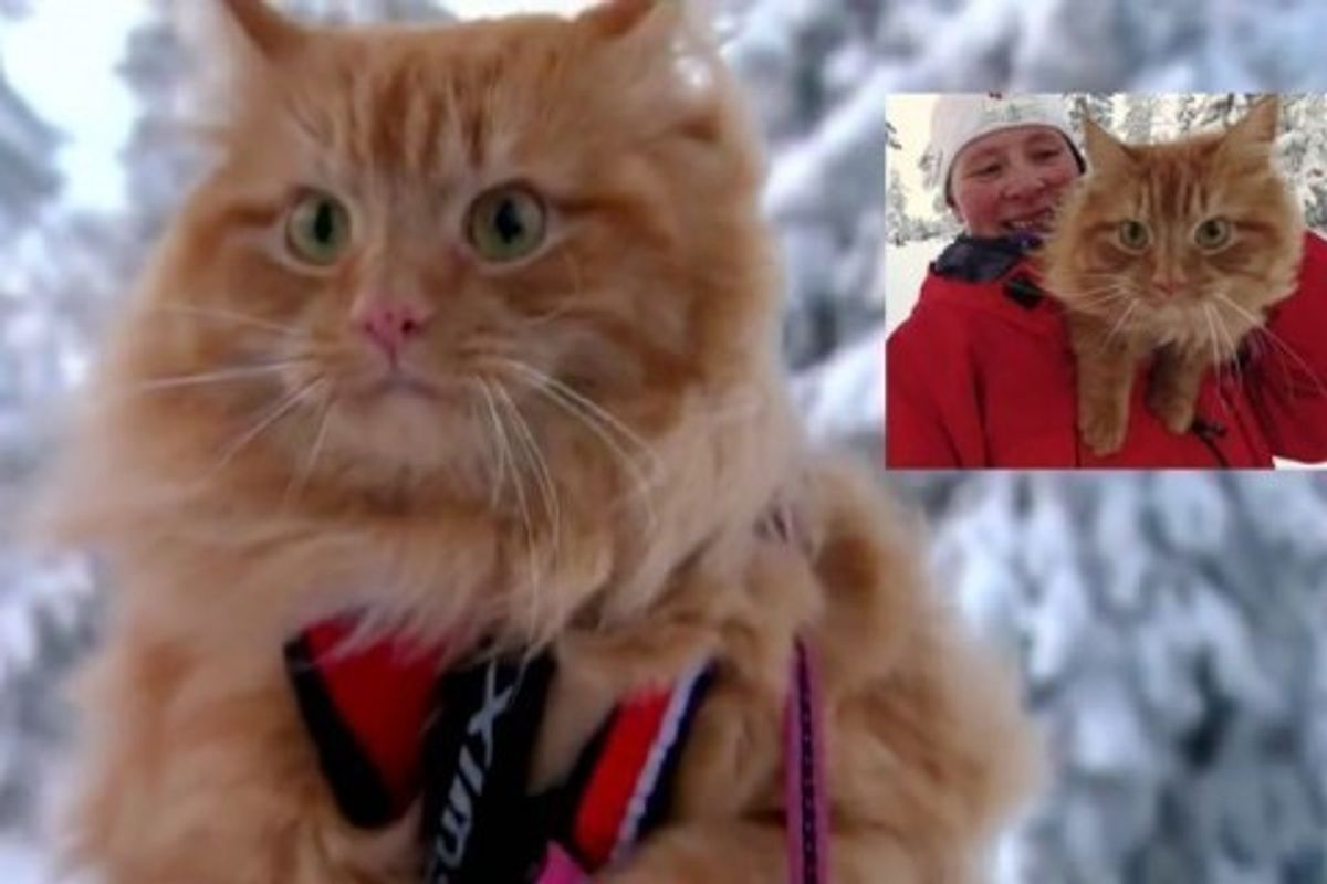 Fluffy Norwegian Cat Loves Hiking and Skiing with His Human!