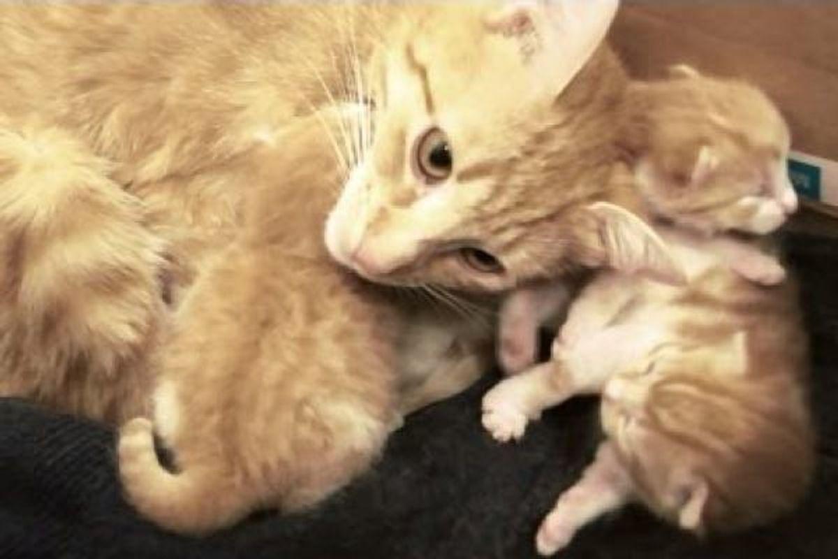 ginger cat mother talks to kitten babies