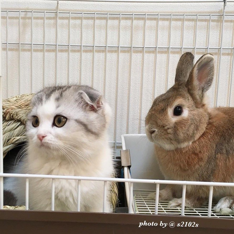 scottish fold kitten bunny best friends
