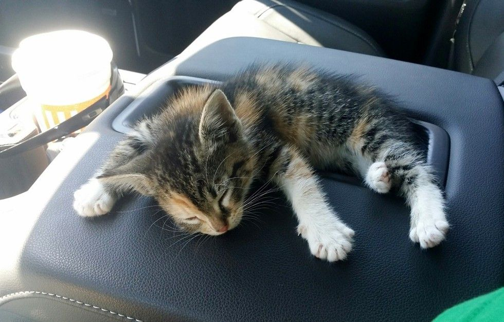 stray calico kitten rescued by young man falls asleep