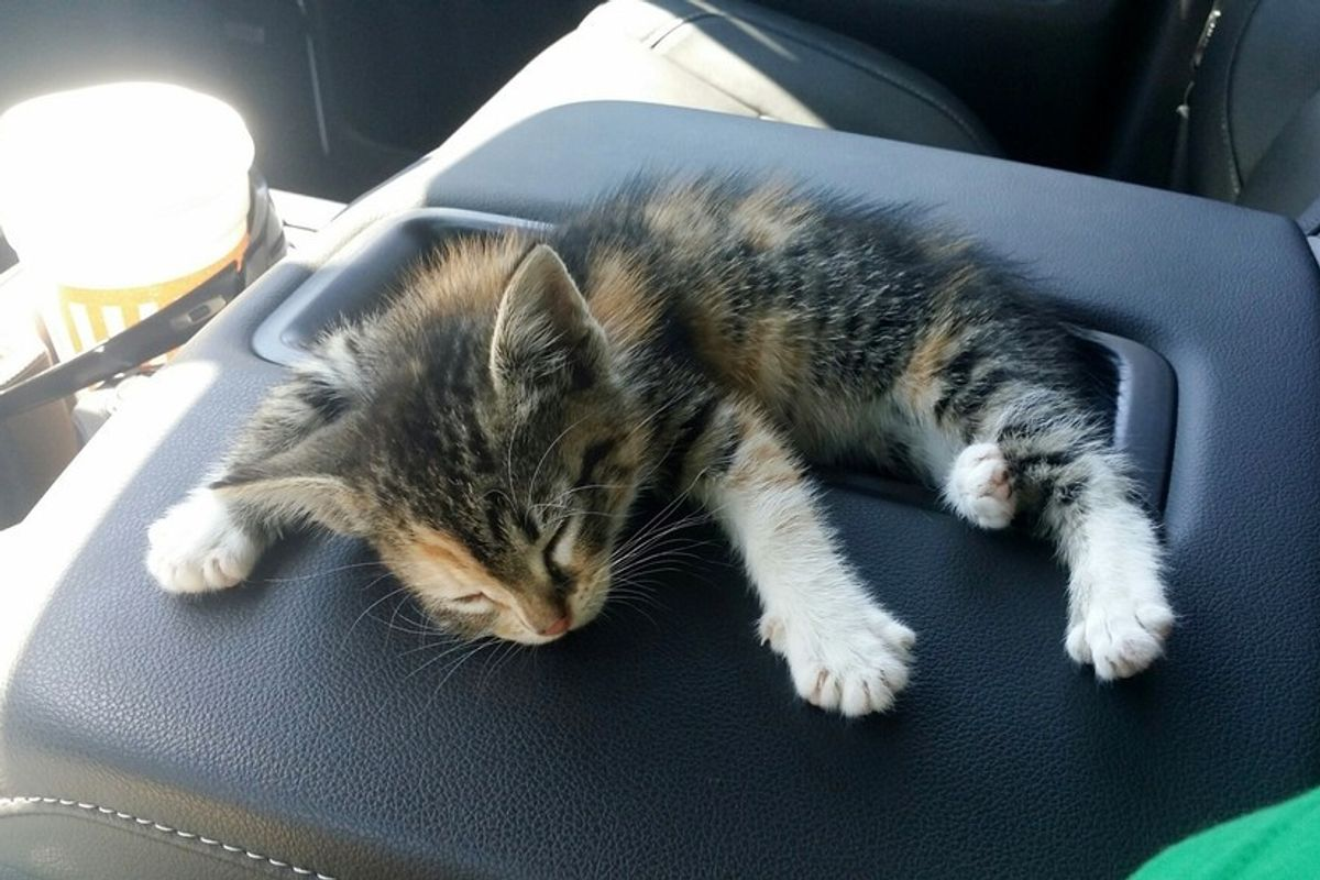 stray kitten rescued from streets fall asleep in truck