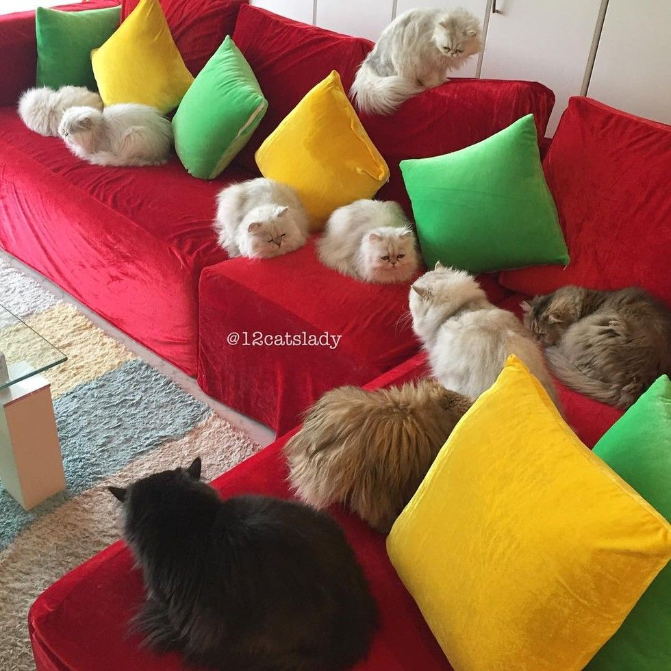 12 persian cats hanging out on couch