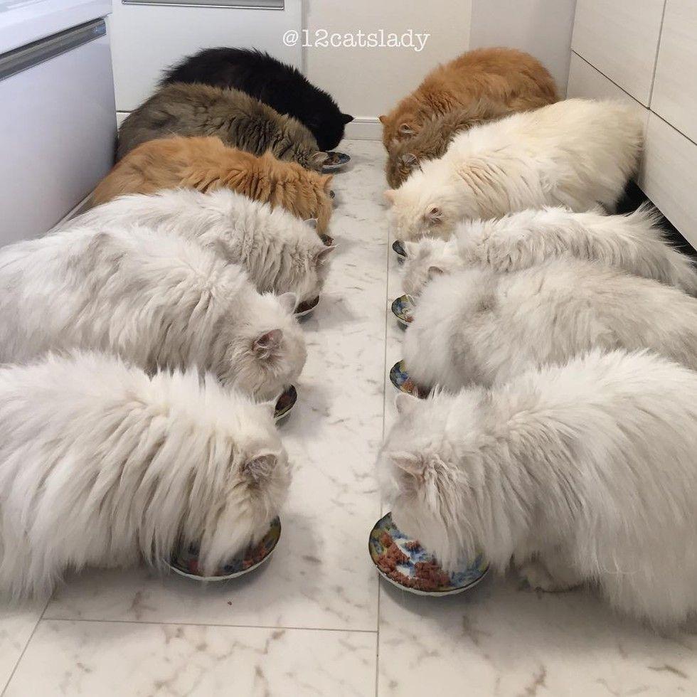 12 persian cats eating