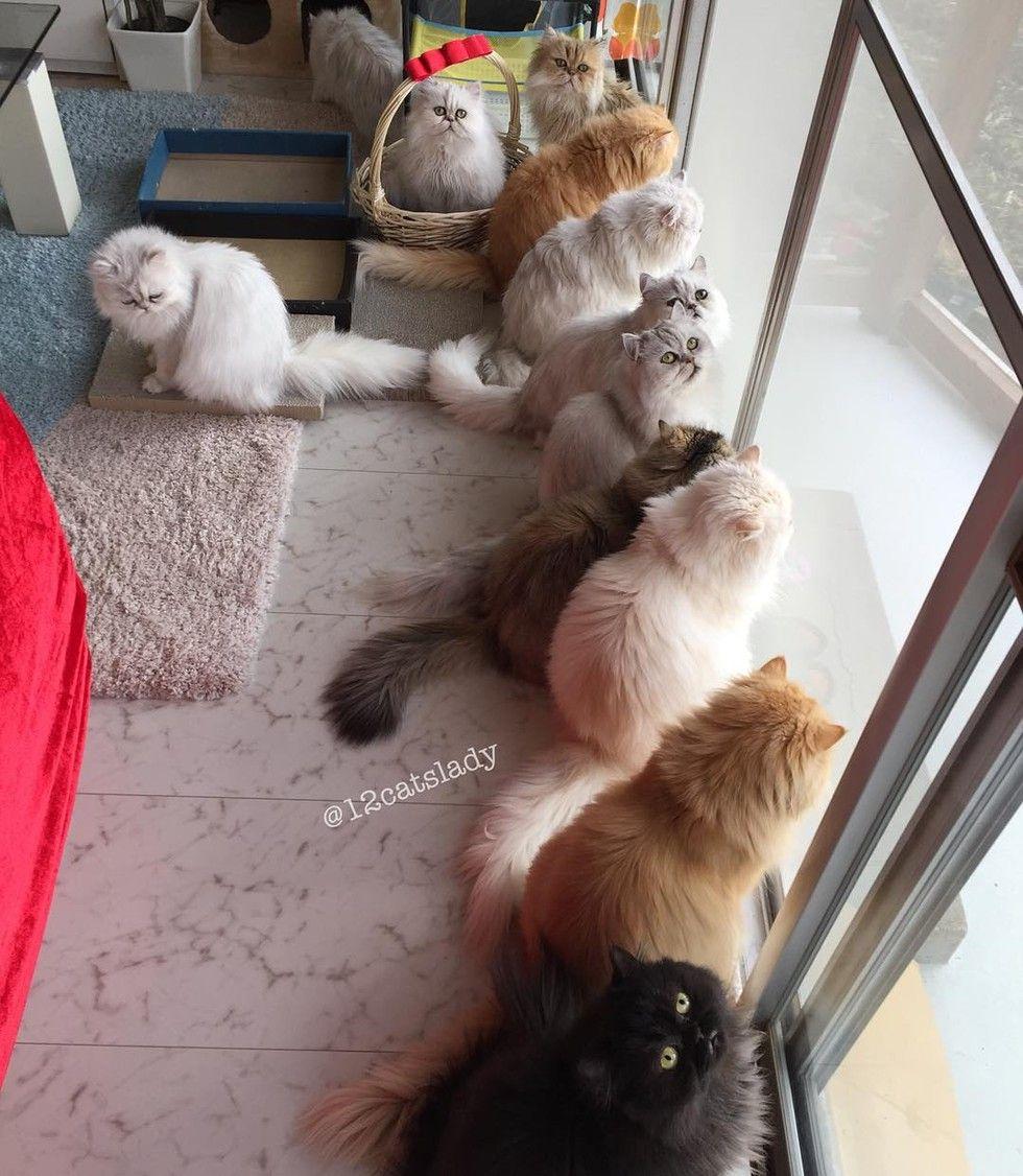 12 persian cats watching bird tv