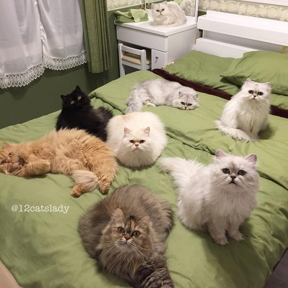 12 persian cats occupying bed