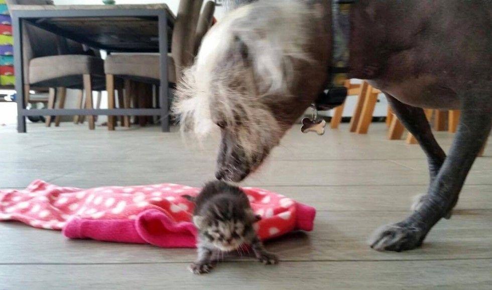 orphaned newborn kitten found on doorstep saved dog