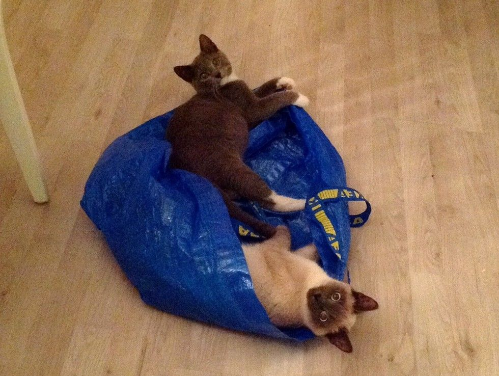 cats play in bag