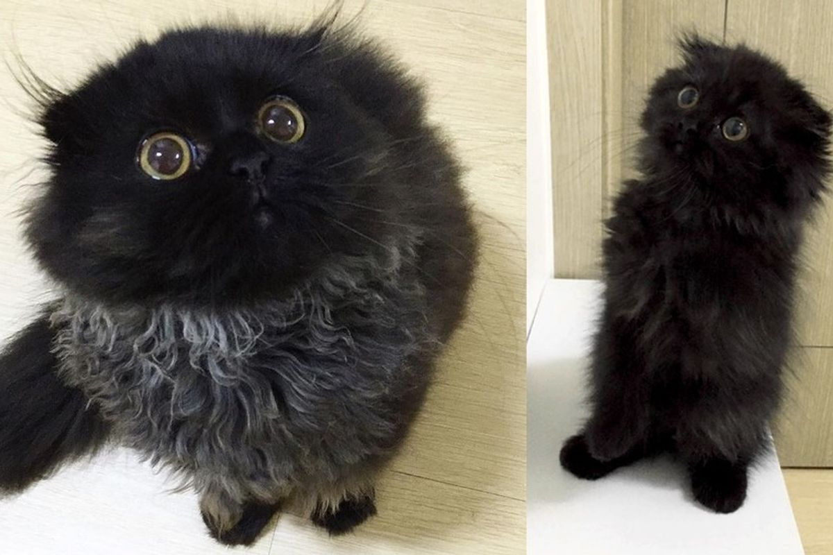 cat with owl eyes fluffy meerkat