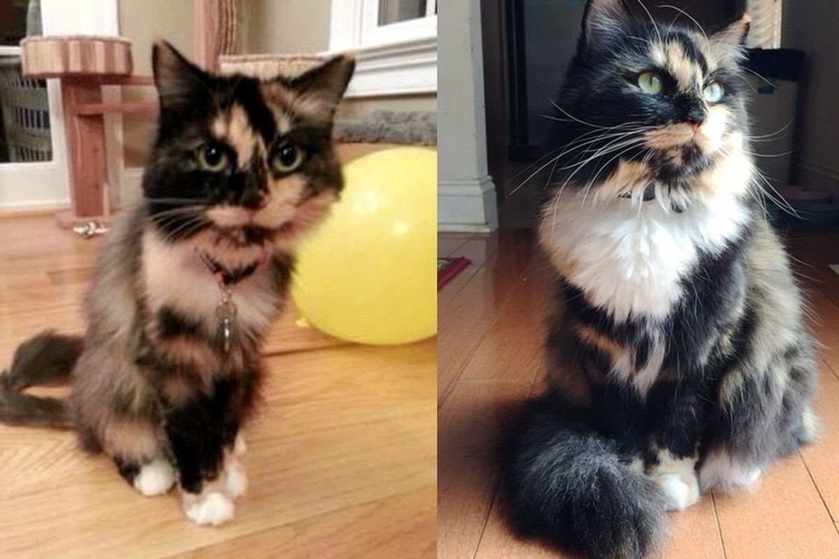 rescue calico cat thin to gorgeous love can do