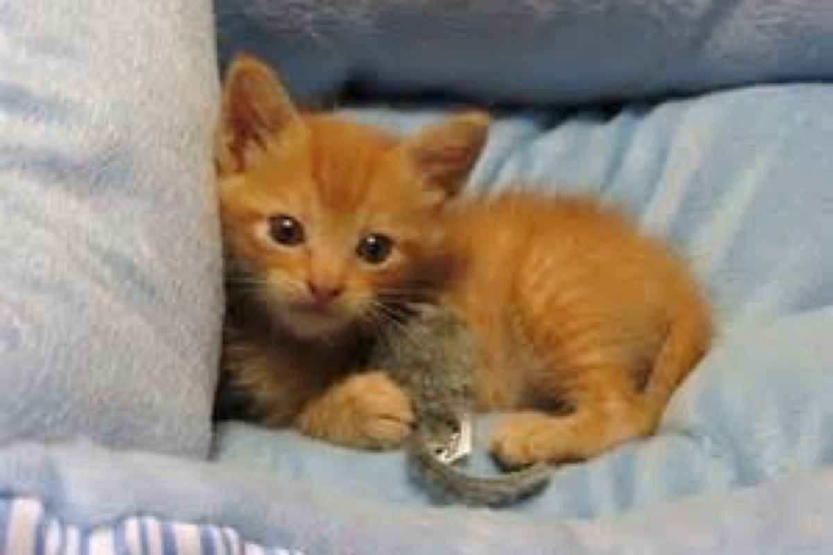 ginger cat born with 3 legs knows he's purrfect