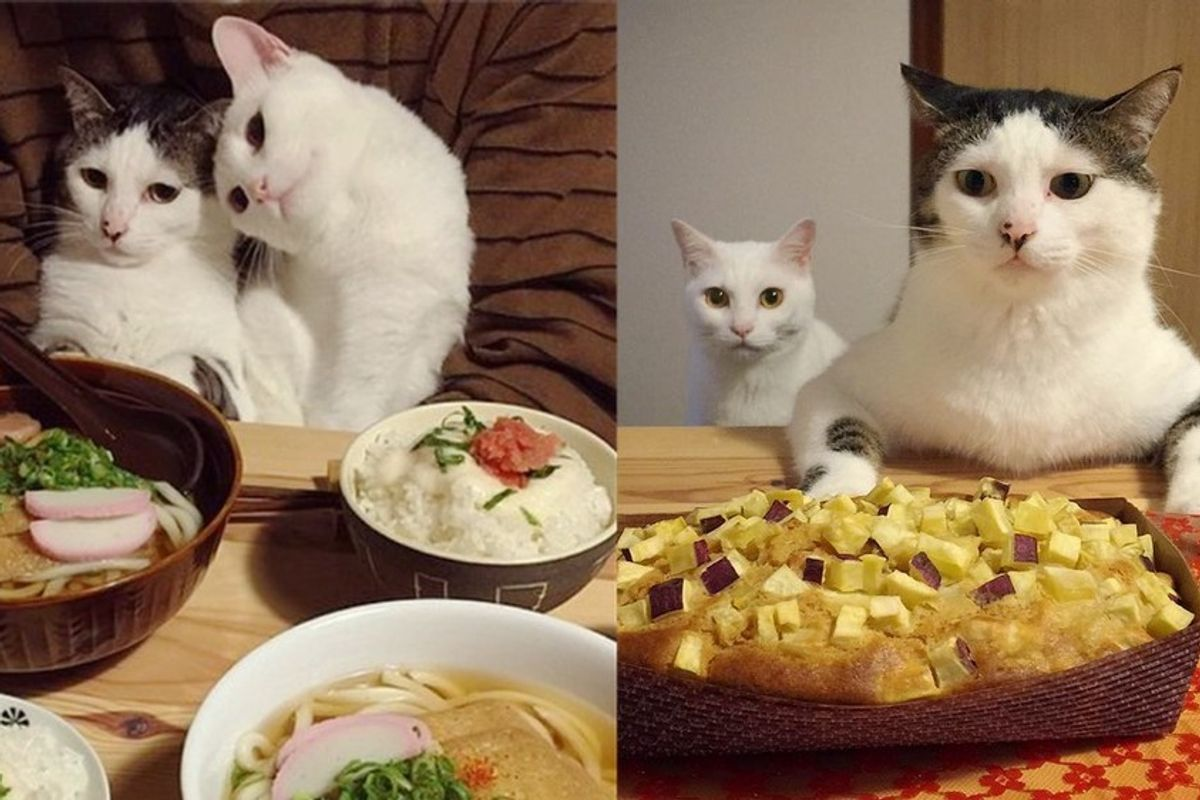 cats watch their humans eat dinner time
