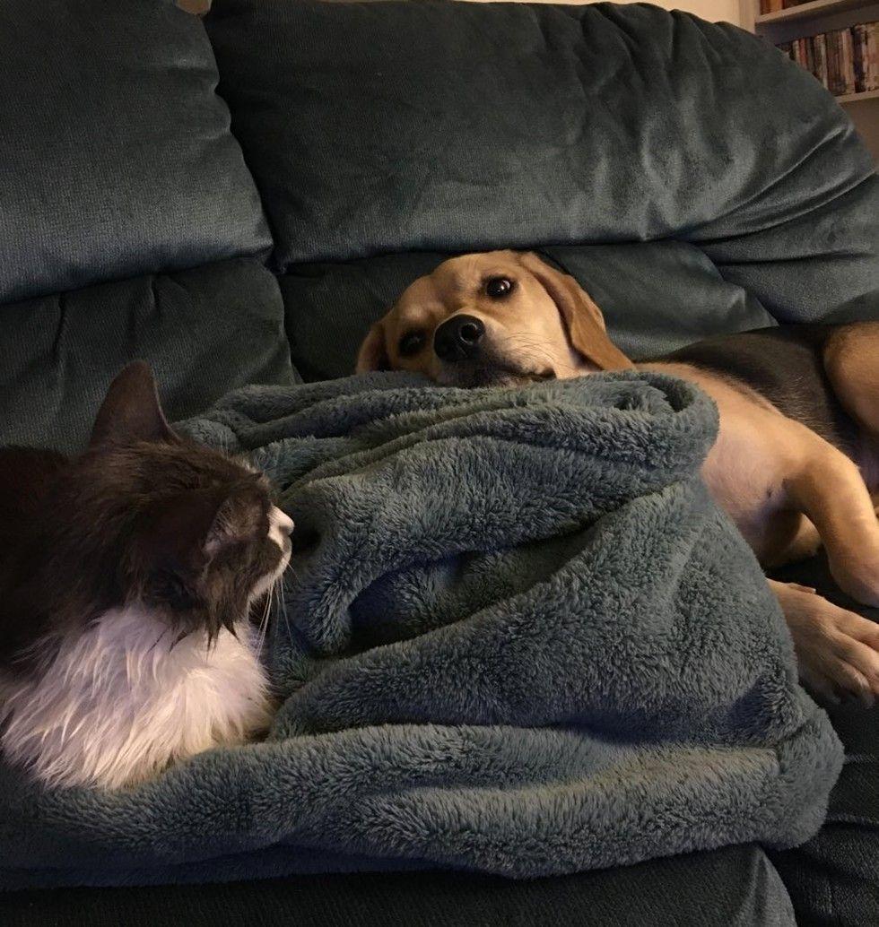 cat and beagle dog best friends