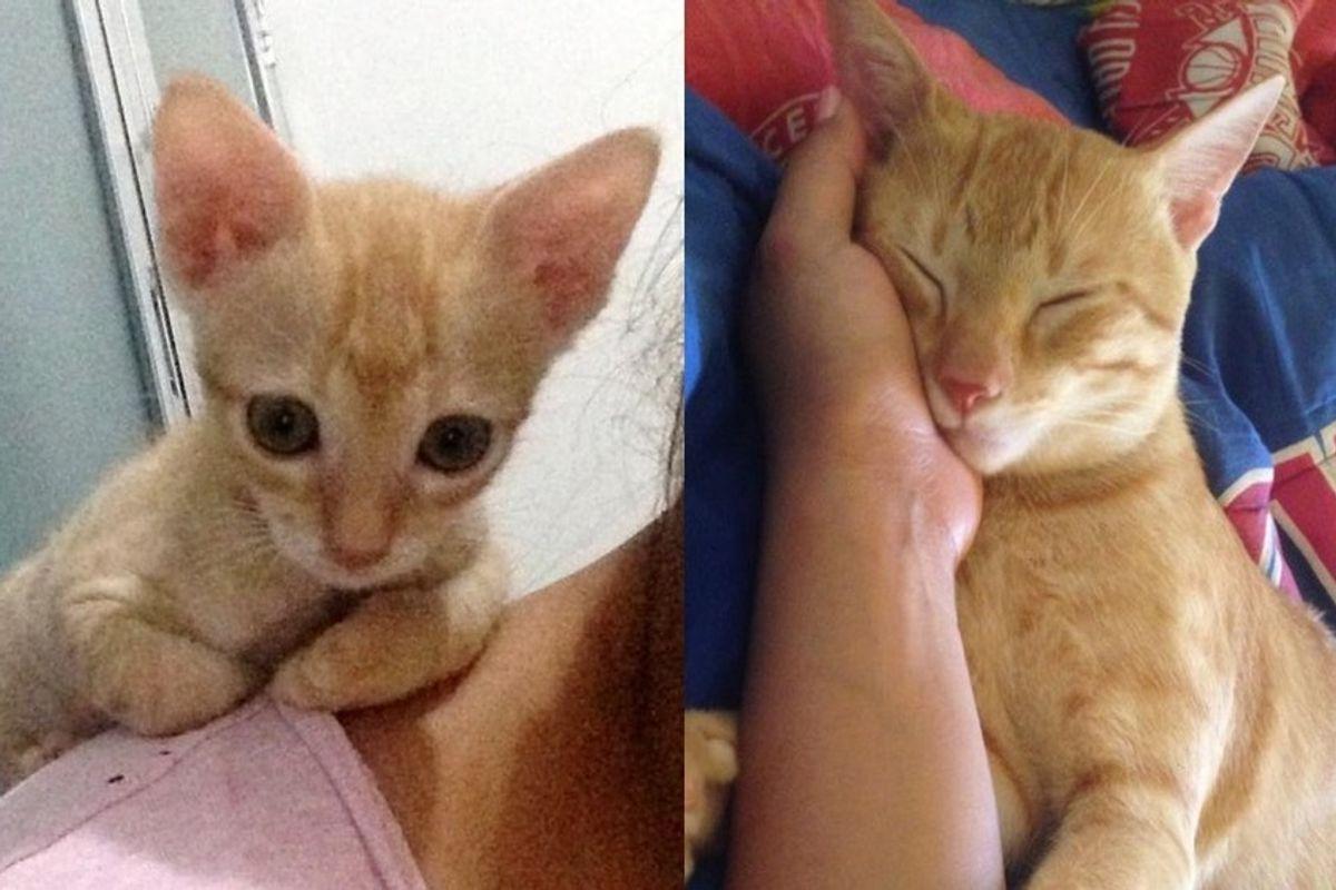 ginger orphaned kitten rescued from market