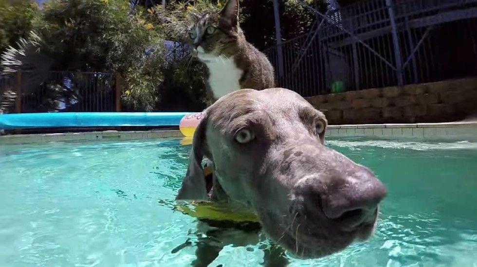 didga cat enjoys pool with dog gopro