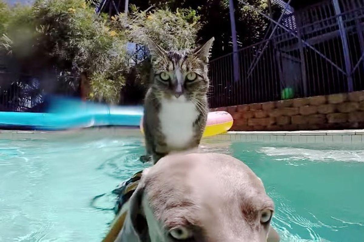 didga cat enjoys pool with dog