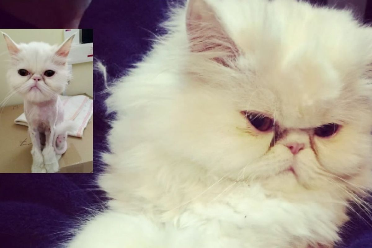 rescue persian cat 6 months later