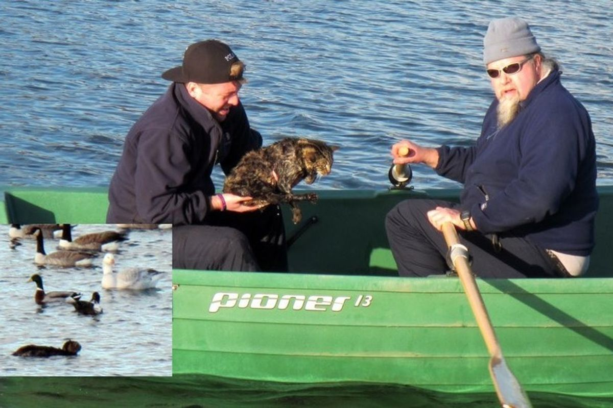 rangers save cat plunged into reservoir water to chase a bird