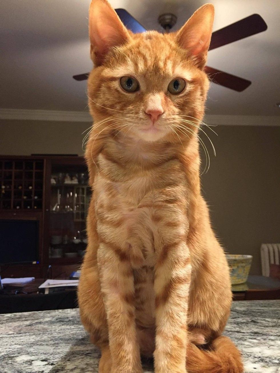 ginger cat rescued from burns by car engine recovery transformation