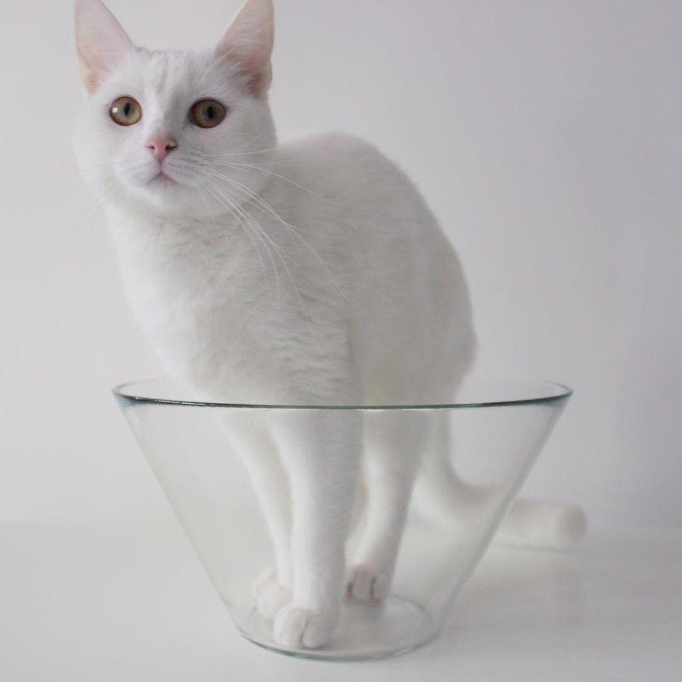 white cat loves sleeping in glass bowl