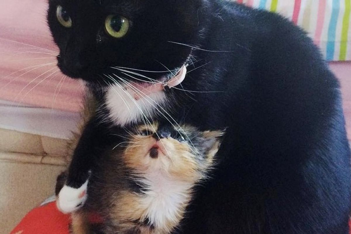 orphaned kitten calico adopted by rescue cat