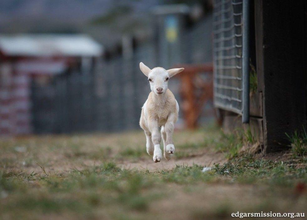 cat finds comfort in lamb