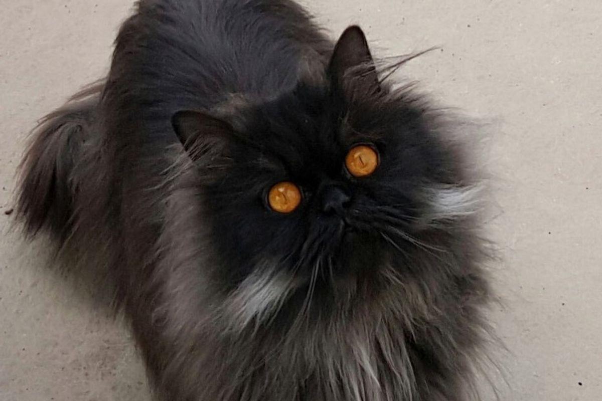 napoleon cat orange eyes