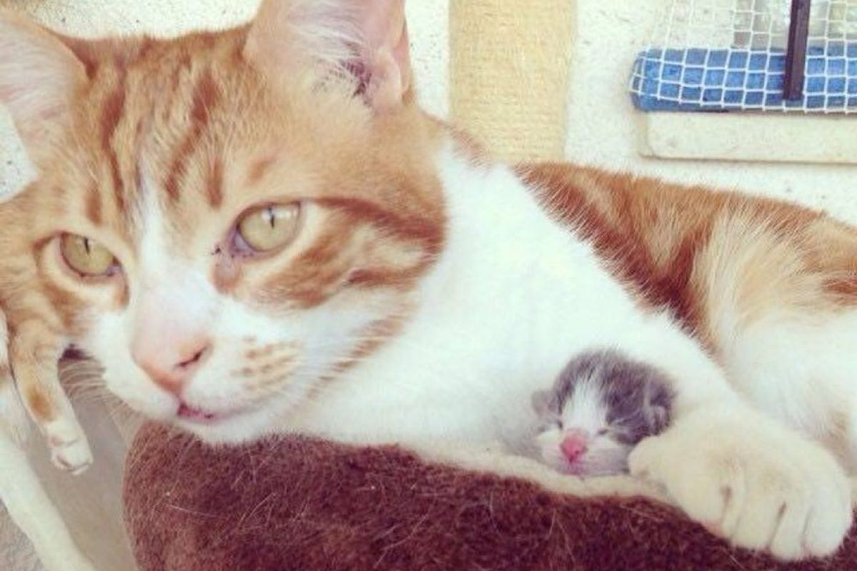 male cat becomes dad to orphaned kitten