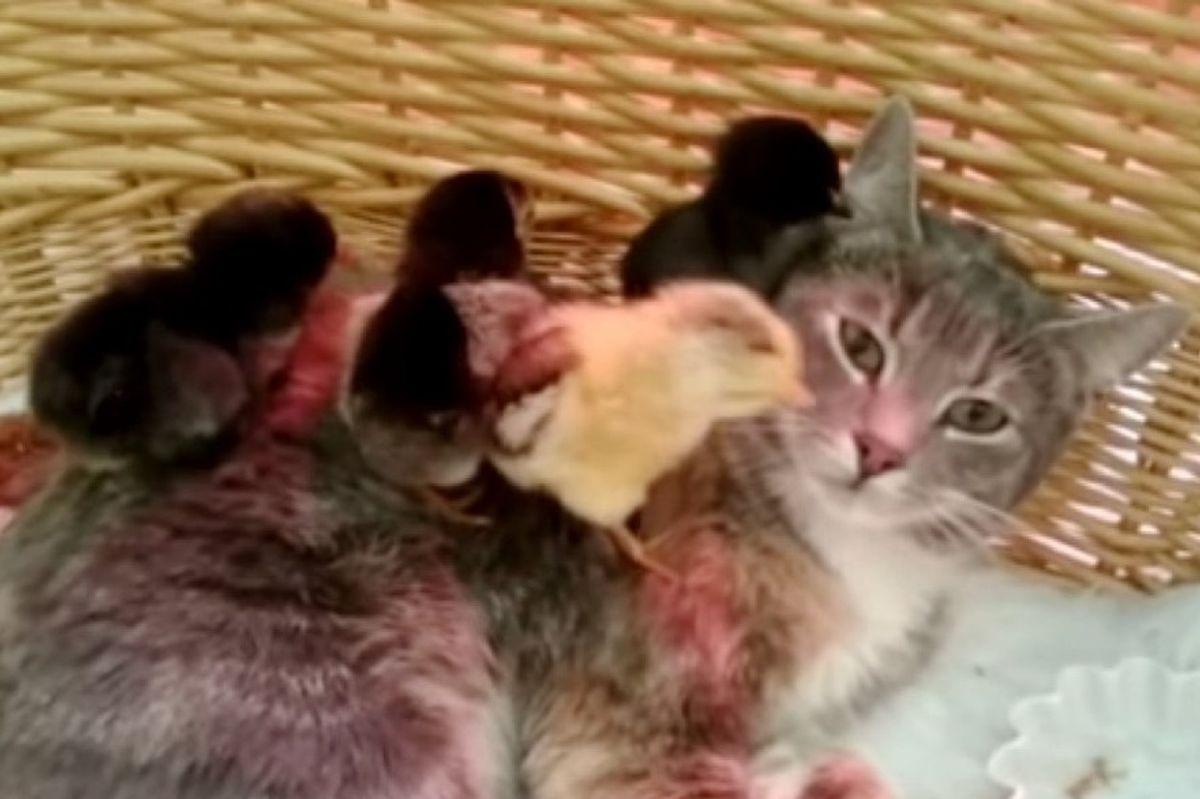 calico cat adopts 4 chicks