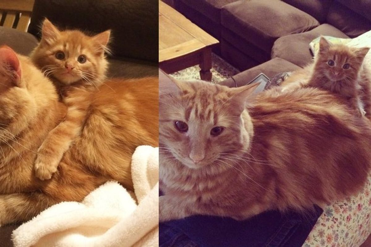 Ginger Cat Finds His Mini Me and Raises Him Like His Own (with Updates)