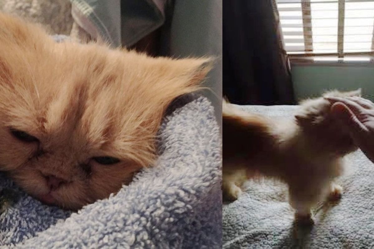 Foster Mom Helps Grieving 9-year-old Persian Cat Find Love Again