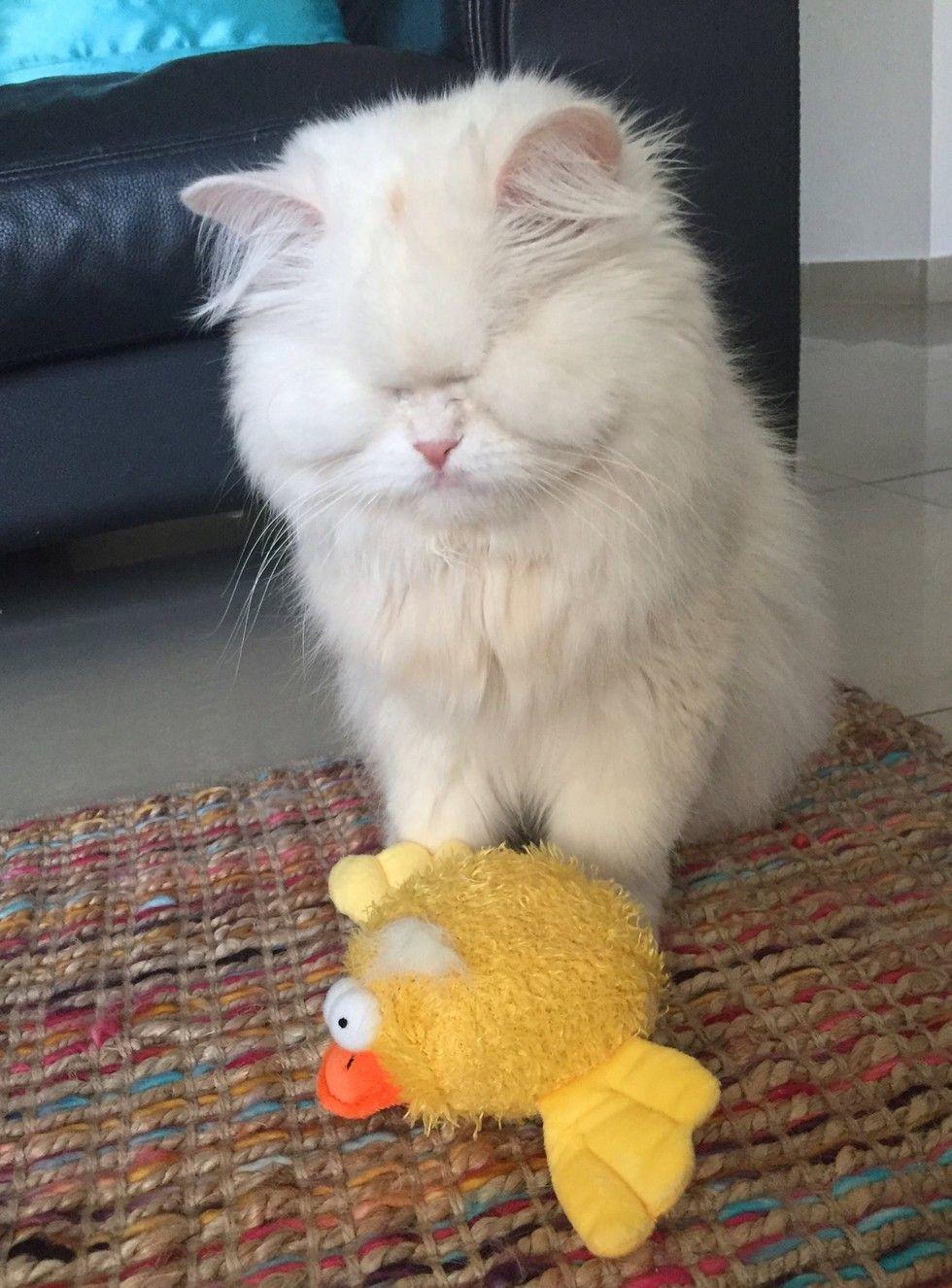 rescued blind persian cat moet