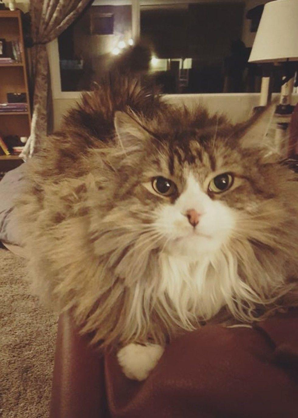 rescue Norwegian forest cat