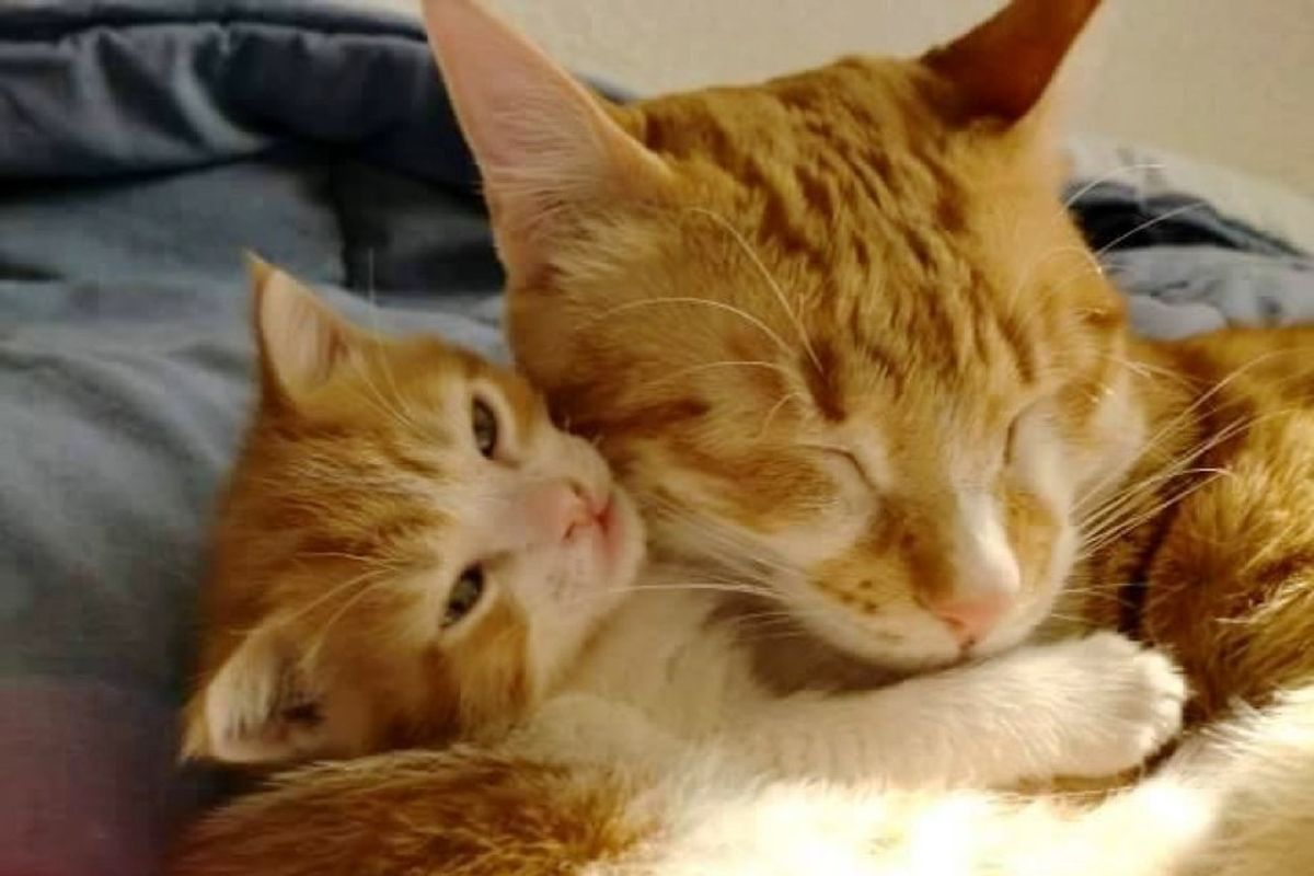 Rescue Cat Becomes Dad to Foster Kitten and Teaches Him How to Love