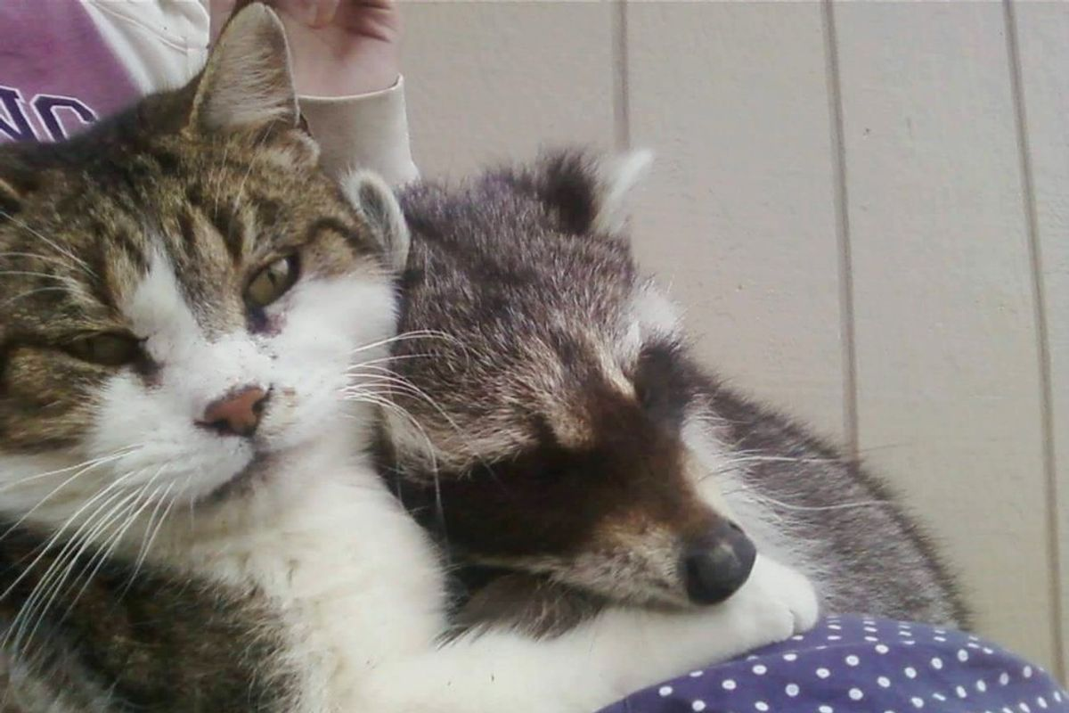 Barn Cat Helped Rescued Raccoon Get Back to the Wild