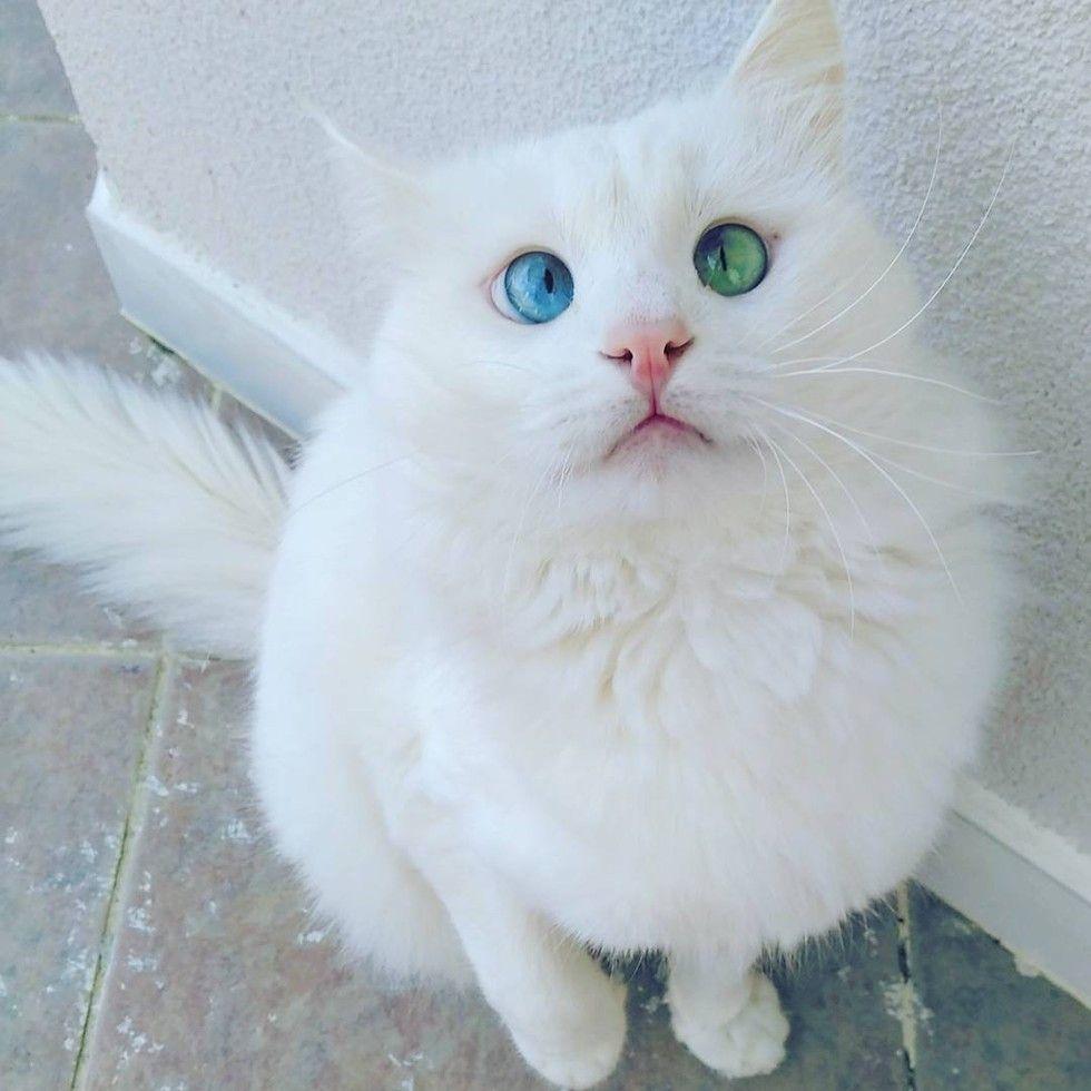 Cross-eyed cat odd eyed alos turkish van