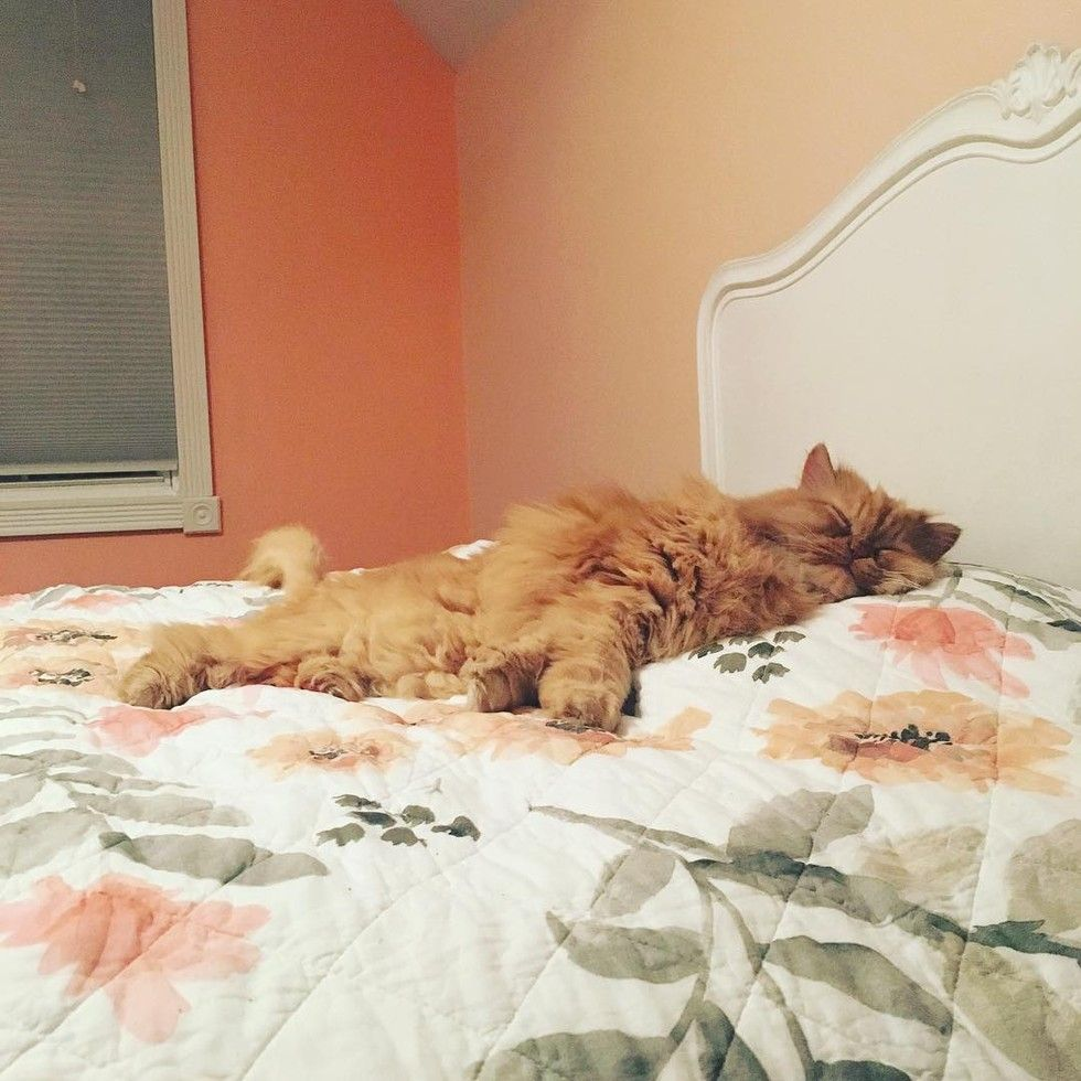 shelter fluffy ginger lion cat saves woman's life